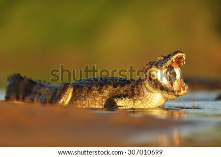 Caiman Yacare, crocodile with fish in with evening sun, Pantanal, Brazil - stock photo