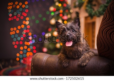 Cairn Terrier dog, christmas - stock photo