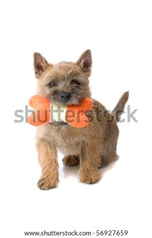 cairn terrier dog playing with a toy, isolated on a white background