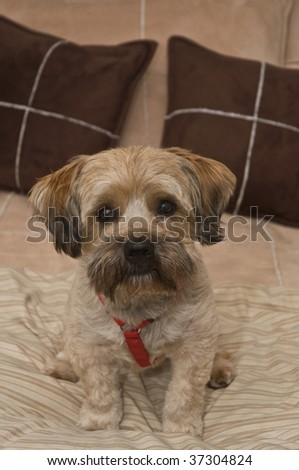 Cairn Terrier Mix Breed Dog sitting on a bed with pillows in the background - stock photo