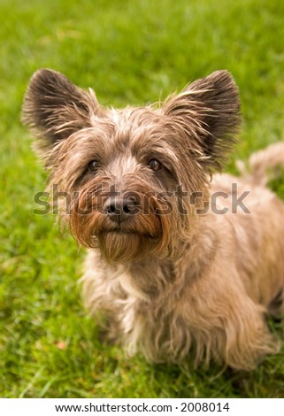 Cairn Terrier Outside on Grass