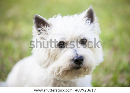 Cairn Terrier posing outdoors