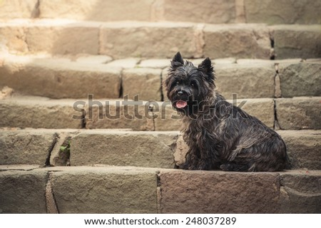 Cairn Terrier sitting at old staircase in Szentendre, summer