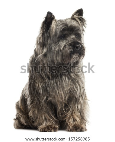 Cairn Terrier sitting, isolated on white