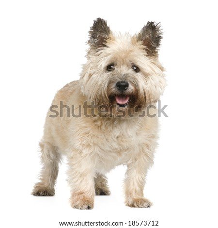 Cairn Terrier (12 years) in front of a white background - stock photo