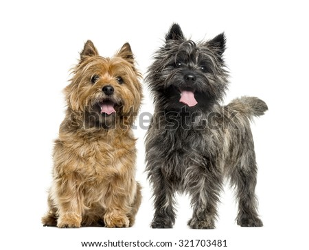 Cairn terriers in front of white background - stock photo