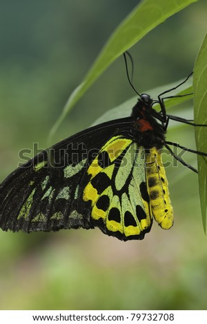 Cairns Birdwing Butterfly - stock photo