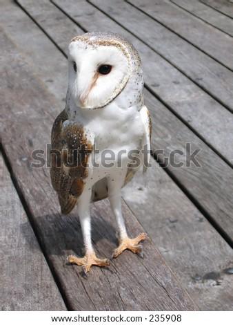 Cairns Tropical Zoo Barn Owl 01 Stock Photo 235908 ...