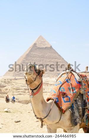 Cairo - A cute camel and Pyramid at Giza Egypt - stock photo