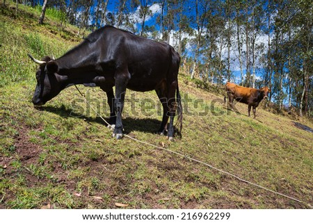 Cajamarca, peru: two cows in the field - stock photo
