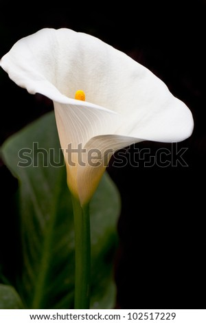 cala lilly isolated on black - stock photo
