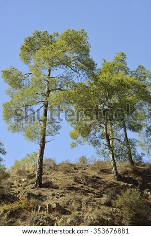 Calabrian or Turkish Pine Trees - Pinus brutia