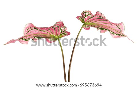 caladium bicolor pink leaf green veins stock photo edit now
