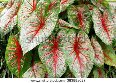 Caladium Leaves Hi Res   Close-up on tricolor caladium leaves    - stock photo