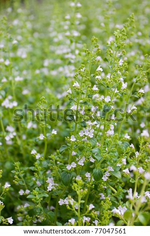 Calamintha nepeta, flowers - stock photo