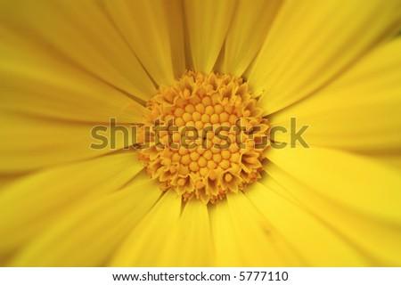 Calendula close-up flower - stock photo