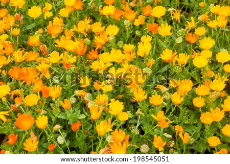 Calendula field - stock photo