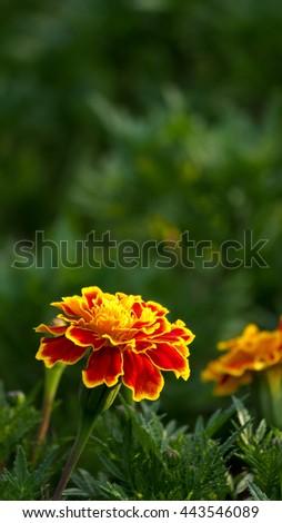 Calendula Flower - stock photo