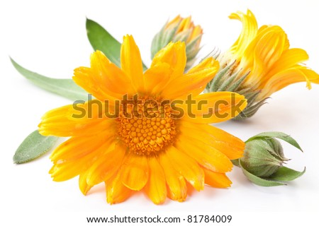 Calendula flower isolated on a white background. - stock photo