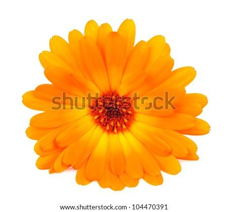 Calendula flower isolated on the white background - stock photo