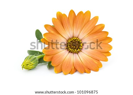 calendula flower isolated on white - stock photo