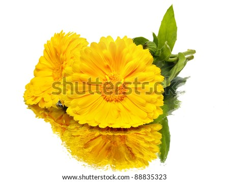 calendula flower on a white background with water drops - stock photo
