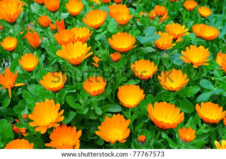 Calendula flowers grow in a flowerbed - stock photo