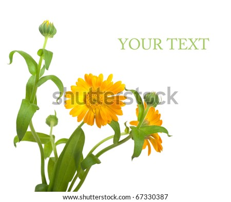 Calendula flowers in a white background - stock photo