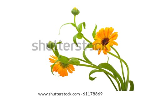 Calendula flowers in white background - stock photo