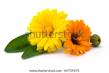 calendula flowers isolated on the white background