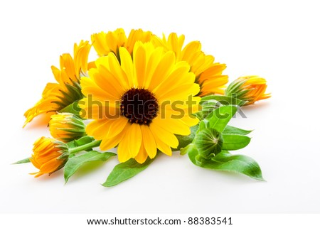 calendula. flowers isolated on the white background - stock photo