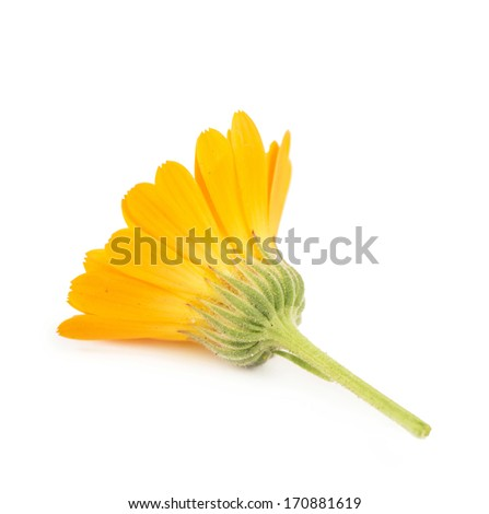 Calendula. flowers isolated on white - stock photo