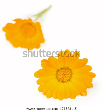 Calendula. flowers isolated on white