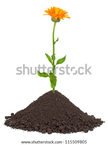 Calendula growing in a pile of soil - stock photo