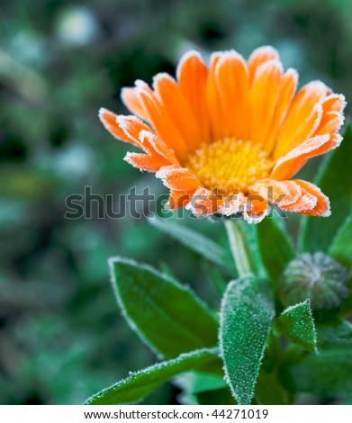 calendula in frost - stock photo