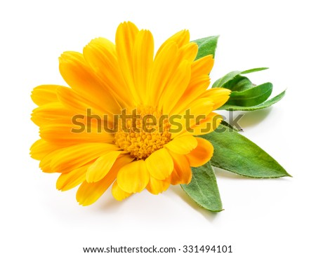 Calendula. Marigold flower with leaves isolated on white - stock photo