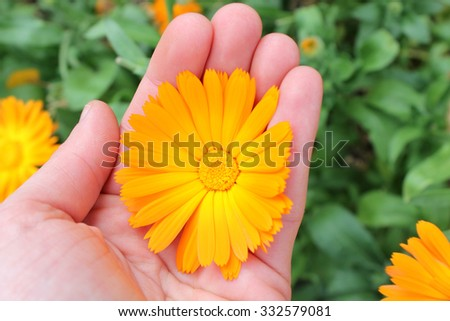 Calendula officinalis flower, marigold in hand - stock photo
