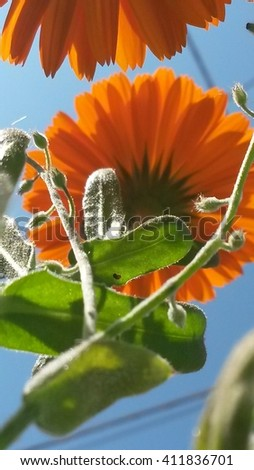 calendula officinalis, Marigold from below - stock photo