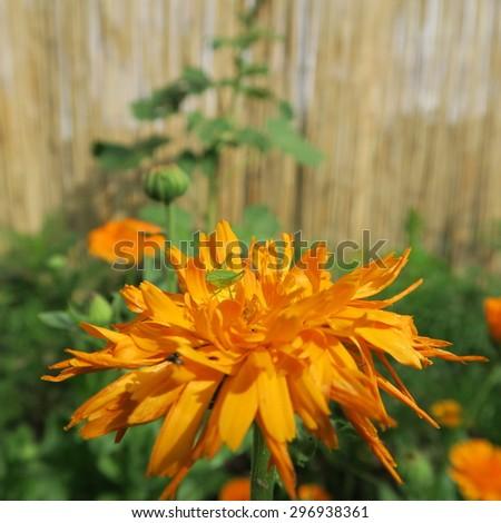 Calendula officinalis,orange flower that blooms in summer and has healing properties - stock photo