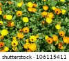 Calendula officinalis (pot marigold) - stock photo