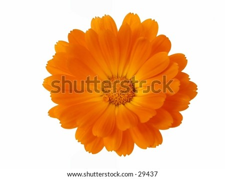 "Calendula officinalis, pot marigold isolated on white. More like this <a href= ""http://www.istockphoto.com/file_search.php?action=file&text=&text=isolated+AND+flower+head+AND+joss""> here </a> - stock photo"