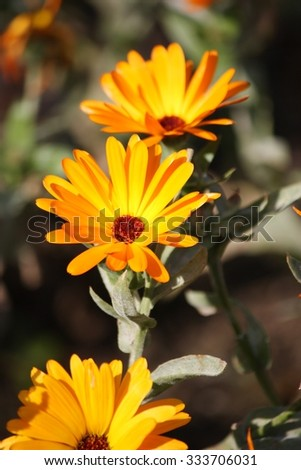Calendula officinalis (pot marigold, ruddles, common marigold, garden marigold, English marigold, or Scottish marigold) - stock photo