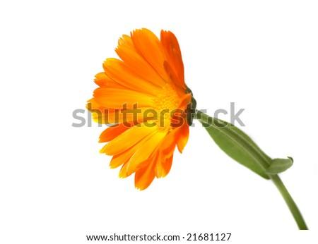 Calendula on a white background - stock photo