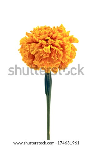 Calendula or pot marigold medicinal herbs on white background - stock photo
