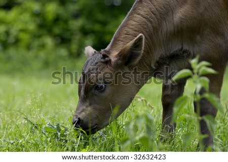 calf - stock photo