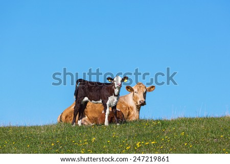 Calf and cow resting in the field - stock photo
