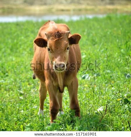 calf at the green filed - stock photo