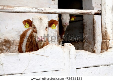 Calf, beef, cow / Beef calves on the farm behind a wooden white fence - stock photo