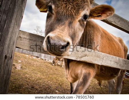 Calf behind a wooden fence - stock photo