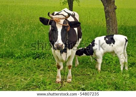 Calf cow feeding in green field - stock photo
